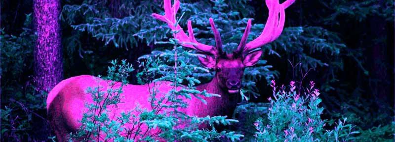 Dana Claxton, Elk for c̓əsnaʔəm